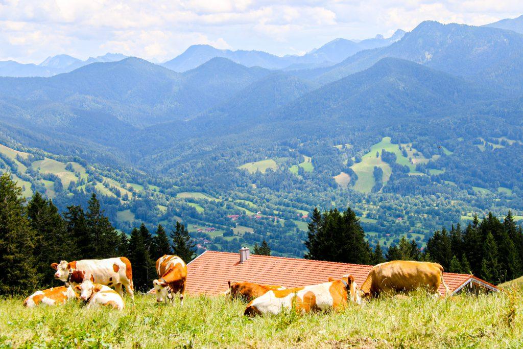 Ausblick vom Blomberg bei Bad Tölz mit Kühen auf der Weide